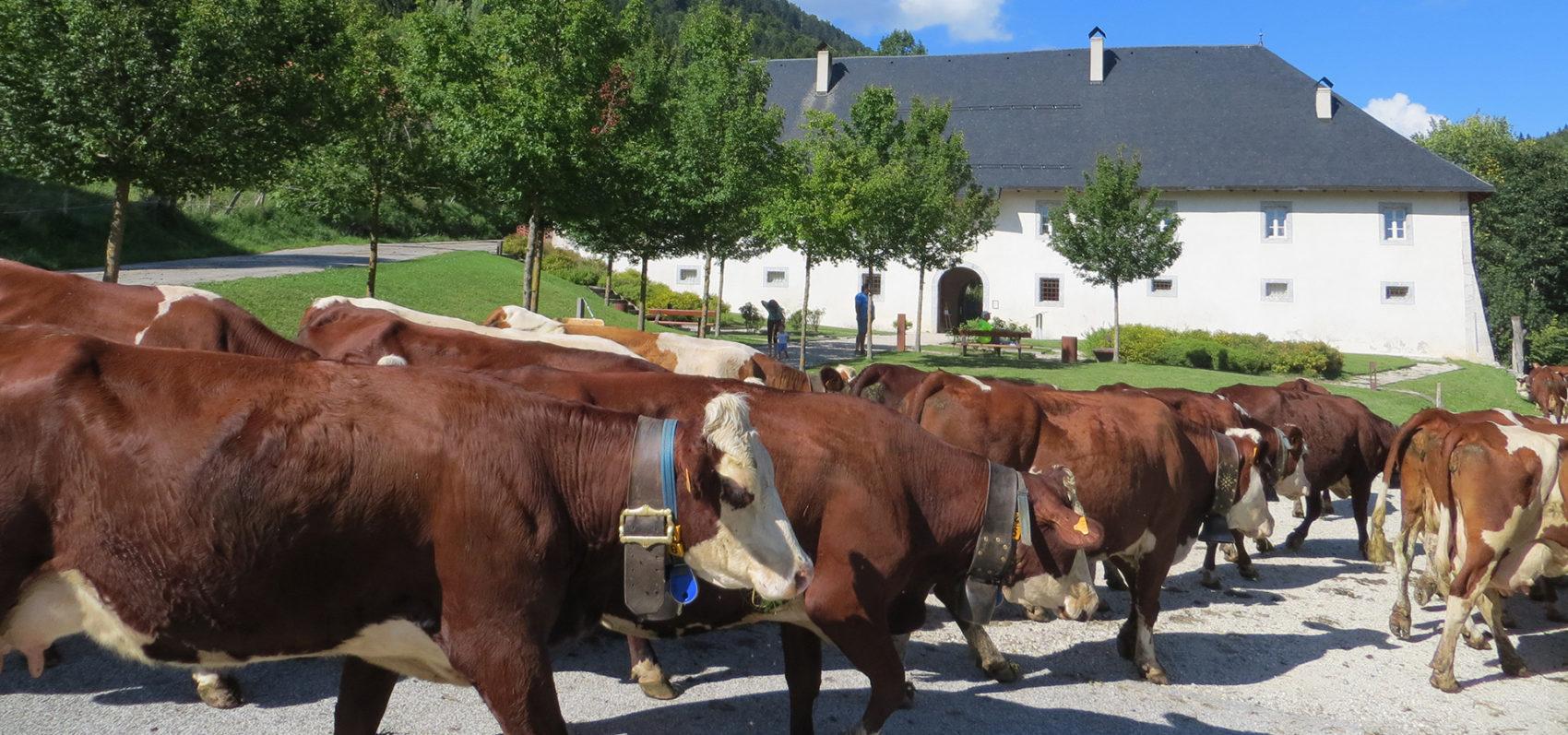 Troupeau de vaches - Chartreuse Aillon